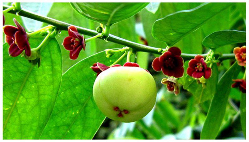 Rau ngót: Tổng hợp 15+ công dụng chữa bệnh của cây rau ngót và những lưu ý khi sử dụng.
