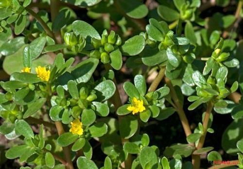 Rau sam: Từ loại cây cỏ mọc dại đến thần dược chữa bệnh. Rau sam có tác dụng gì?